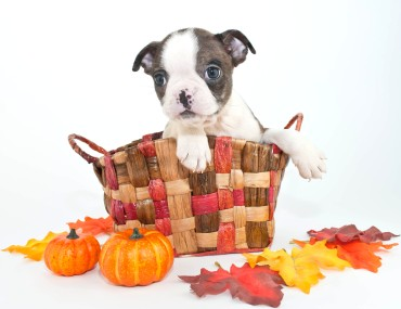 Fall Boston Puppy
